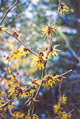 Early Bright Witchhazel (Hamamelis mollis 'Early Bright') at Alsip Home and Nursery