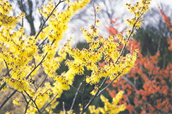 Arnold Promise Witchhazel (Hamamelis x intermedia 'Arnold Promise') at Alsip Home and Nursery