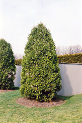 Zebrina Arborvitae (Thuja plicata 'Zebrina') at Alsip Home and Nursery