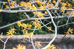 Chinese Witchhazel (Hamamelis mollis) at Alsip Home and Nursery