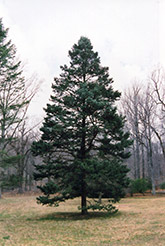 Rocky Mountain Douglas Fir (Pseudotsuga menziesii 'var. glauca') at Alsip Home and Nursery