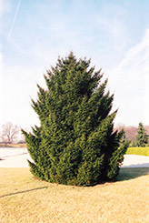 Oriental Spruce (Picea orientalis) at Alsip Home and Nursery