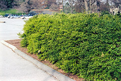 Dwarf-Leaved Japanese Holly (Ilex crenata 'Microphylla') at Alsip Home and Nursery
