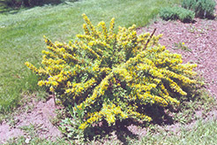 Shrub Broom (Cytisus nigricans) at Alsip Home and Nursery