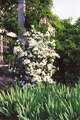 Belle Etoile Mockorange (Philadelphus x lemoinei 'Belle Etoile') at Alsip Home and Nursery