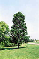 Sentry Linden (Tilia americana 'Sentry') at Alsip Home and Nursery