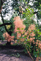 Nordine Smokebush (Cotinus coggygria 'Nordine') at Alsip Home and Nursery