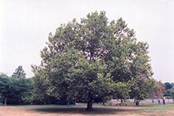 London Planetree (Platanus x acerifolia) at Alsip Home and Nursery