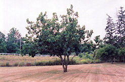 Russian Mulberry (Morus alba 'var. tatarica') at Alsip Home and Nursery