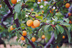 Goldcot Apricot (Prunus armeniaca 'Goldcot') at Alsip Home and Nursery
