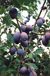 Vanier Plum (Prunus 'Vanier') at Alsip Home and Nursery
