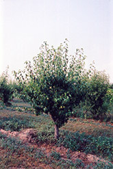 Anjou Pear (Pyrus communis 'Anjou') at Alsip Home and Nursery