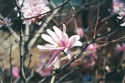 Pink Stardust Magnolia (Magnolia stellata 'Pink Stardust') at Alsip Home and Nursery