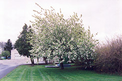 Commutata Mayday (Prunus padus 'var. commutata') at Alsip Home and Nursery