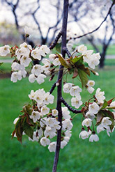 Hedelfingen Cherry (Prunus avium 'Hedelfingen') at Alsip Home and Nursery