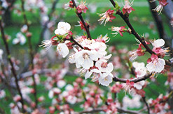 Harcot Apricot (Prunus armeniaca 'Harcot') at Alsip Home and Nursery