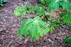 Fullmoon Maple (Acer japonicum) at Alsip Home and Nursery