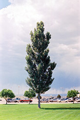 Theves Poplar (Populus nigra 'Afghanica') at Alsip Home and Nursery