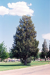 Rocky Mountain Juniper (Juniperus scopulorum) at Alsip Home and Nursery