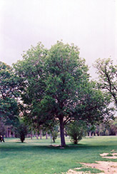 Common Mulberry (Morus alba) at Alsip Home and Nursery