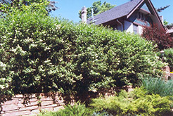 Common Privet (Ligustrum vulgare) at Alsip Home and Nursery