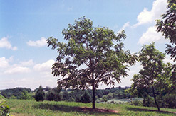 North Platte English Walnut (Juglans regia 'North Platte') at Alsip Home and Nursery