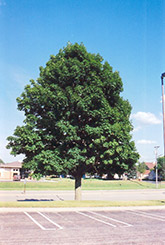 Emerald Queen Norway Maple (Acer platanoides 'Emerald Queen') at Alsip Home and Nursery