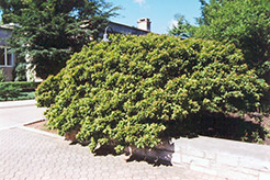 Dwarf Redtip Dogwood (Cornus pumila) at Alsip Home and Nursery