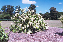 White Moth Hydrangea (Hydrangea paniculata 'White Moth') at Alsip Home and Nursery