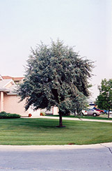 Russian Olive (Elaeagnus angustifolia) at Alsip Home and Nursery