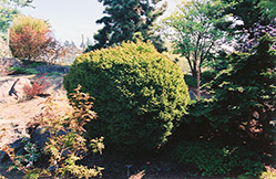 Dwarf Globe Japanese Cedar (Cryptomeria japonica 'Globosa') at Alsip Home and Nursery