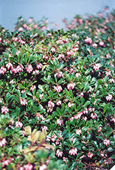 Vancouver Jade Bearberry (Arctostaphylos uva-ursi 'Vancouver Jade') at Alsip Home and Nursery