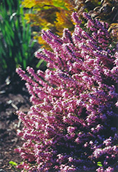 Sherwood's Early Red Heath (Erica carnea 'Sherwood's Early Red') at Alsip Home and Nursery