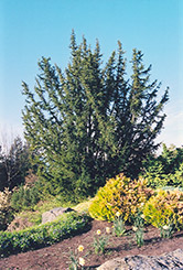 English Yew (Taxus baccata) at Alsip Home and Nursery