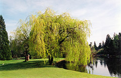 Golden Weeping Willow (Salix x sepulchralis 'Chrysocoma') at Alsip Home and Nursery
