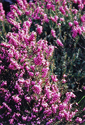 Purple Beauty Heath (Erica cinerea 'Purple Beauty') at Alsip Home and Nursery