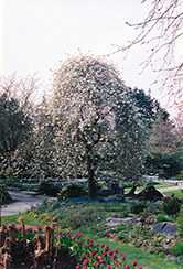 Weeping Willowleaf Pear (Pyrus salicifolia 'Pendula') at Alsip Home and Nursery
