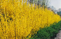 Lynwood Gold Forsythia (Forsythia x intermedia 'Lynwood Gold') at Alsip Home and Nursery