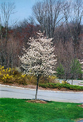 Cumulus Serviceberry (Amelanchier laevis 'Cumulus') at Alsip Home and Nursery