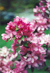 Indian Magic Flowering Crab (Malus 'Indian Magic') at Alsip Home and Nursery