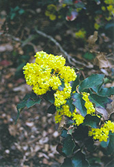 King's Ransom Oregon Grape (Mahonia 'King's Ransom') at Alsip Home and Nursery