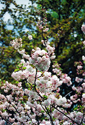 Higurashi Flowering Cherry (Prunus 'Higurashi') at Alsip Home and Nursery