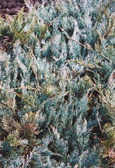 Grey Carpet Juniper (Juniperus horizontalis 'Grey Carpet') at Alsip Home and Nursery