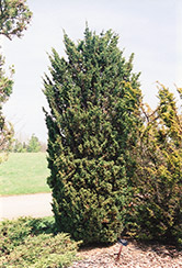 Blaauw Juniper (Juniperus chinensis 'Blaauw') at Alsip Home and Nursery