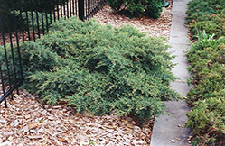 Nick's Compact Juniper (Juniperus x media 'Nick's Compact') at Alsip Home and Nursery