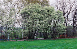 Common Serviceberry (Amelanchier oblongifolia) at Alsip Home and Nursery