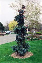 Hoto Blue Spruce (Picea pungens 'Hoto') at Alsip Home and Nursery