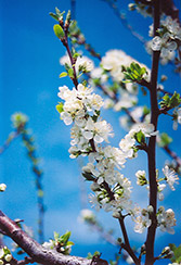 Mount Royal Plum (Prunus 'Mount Royal') at Alsip Home and Nursery
