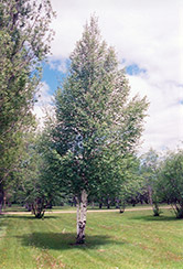 European Birch (Betula pendula) at Alsip Home and Nursery