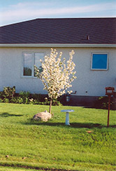 Battleford Apple (Malus 'Battleford') at Alsip Home and Nursery